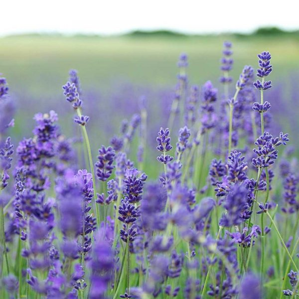 French Lavender Pillow Spray